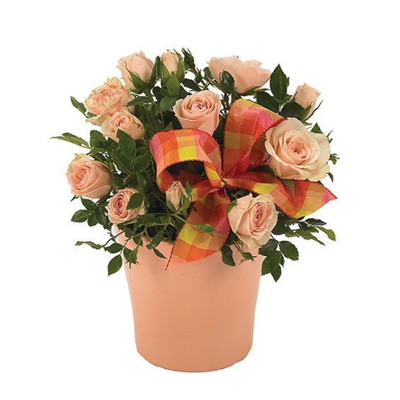 Pink mini rose plant for Mom (BF152-11KM)
